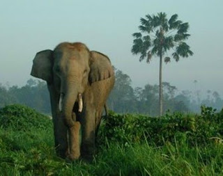 Asian Elephant Pictures