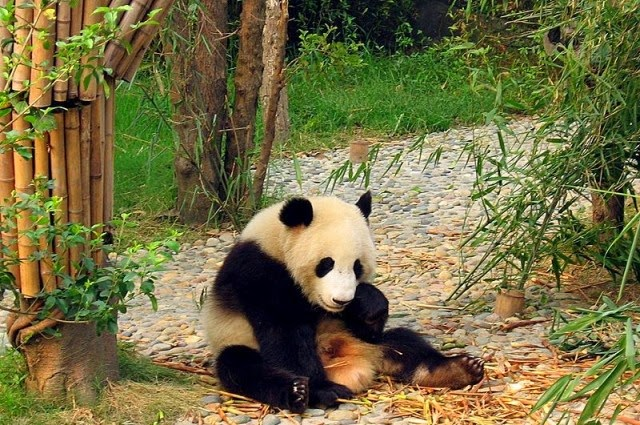 China Outlaws The Eating Of Endangered Animals - This panda at Chengdu's giant panda research base is probably safe from poaching, but now its cousins in the wild may be a little safer too.