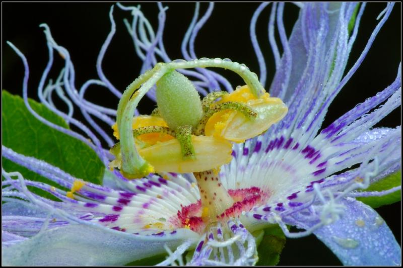 Magično cveće! Passion+Flower+13