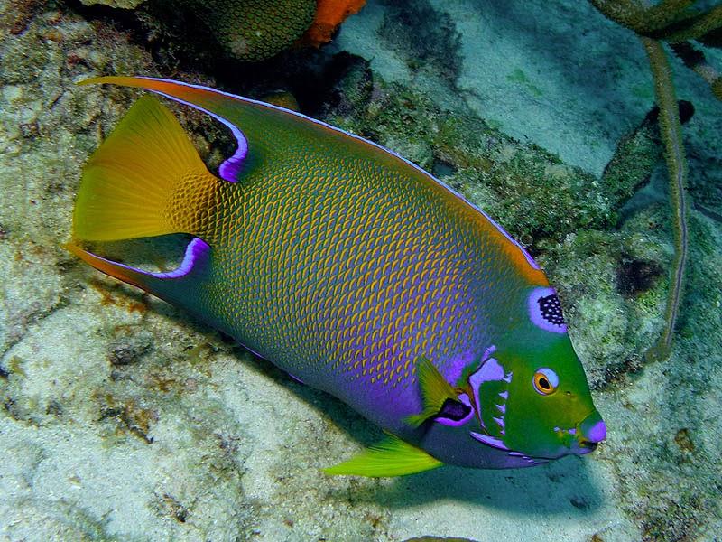 Queen angelfish   Wild Life Animal