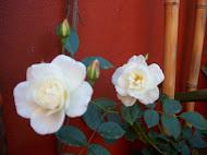 De Maria orquidea