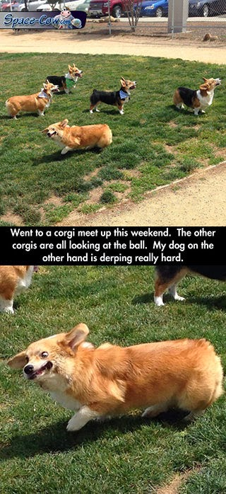 funny cute corgi picture