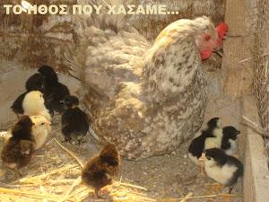 Κότες ντόπιες...