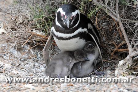 Pingüino de Magallanes con pichón - Magellanic Penguin with their baby - Península Valdés - Patagonia - Andrés Bonetti