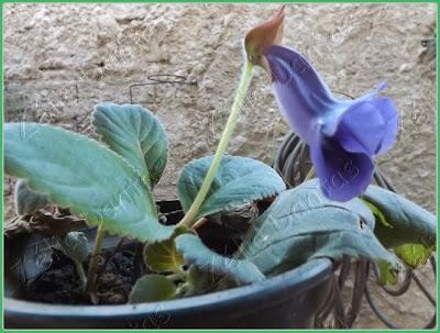 Planta com flor Sinningia Speciosa
