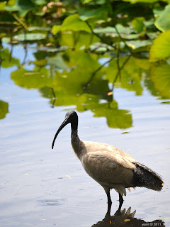 ibis in the lake