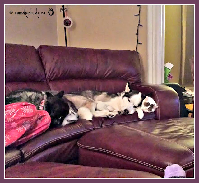 siberian husky best friends with a cat
