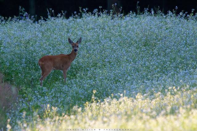 Ree in Wilde Radijs - Roe Deer in Wild Radish - Capreolus capreolus