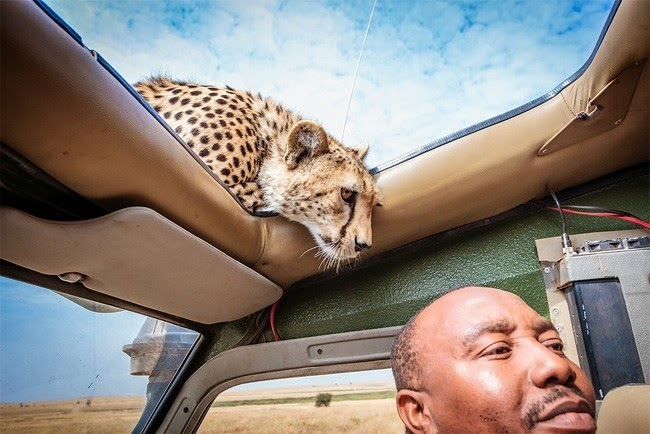 /2014/04/curious-cheetah-gets-up-close-to.html