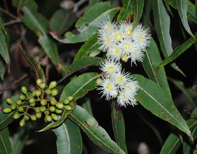 Red Bloodwood (Corymbia gummifera)
