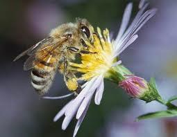 Cara Lebah Membuat Madu [ www.BlogApaAja.com ]