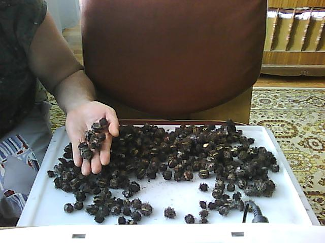 Клещевина когда сажать семена 508