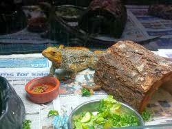 Endangered Bahamian Iguanas