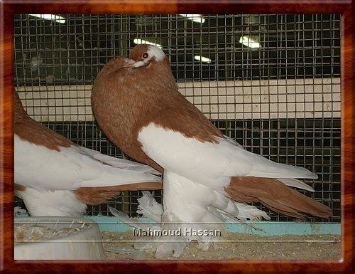 Pigeons for sale: Yellow ReverseWing pouter pigeon