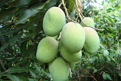 MANGO, DELICIOSA FRUTA DE LA CONVENCION.