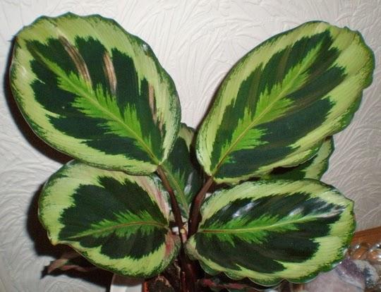 Peces y plantas ornamentales calathea roseopicta for Hojas ornamentales
