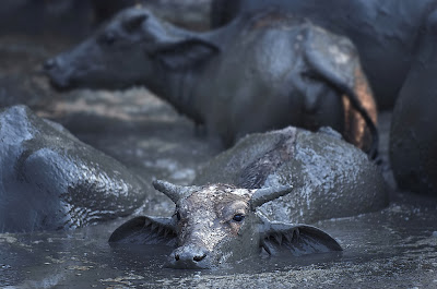 Foto Wild Asian water buffalo (Kerbau Liar Asia)