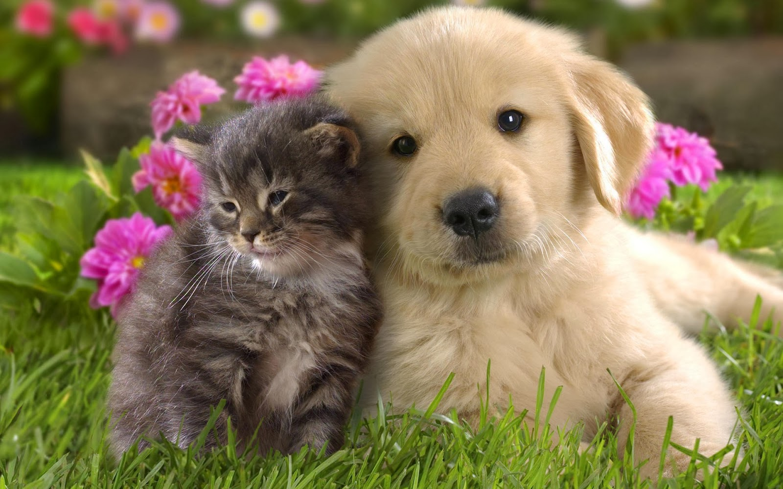 hd wallpapers: lovely kitten and puppy