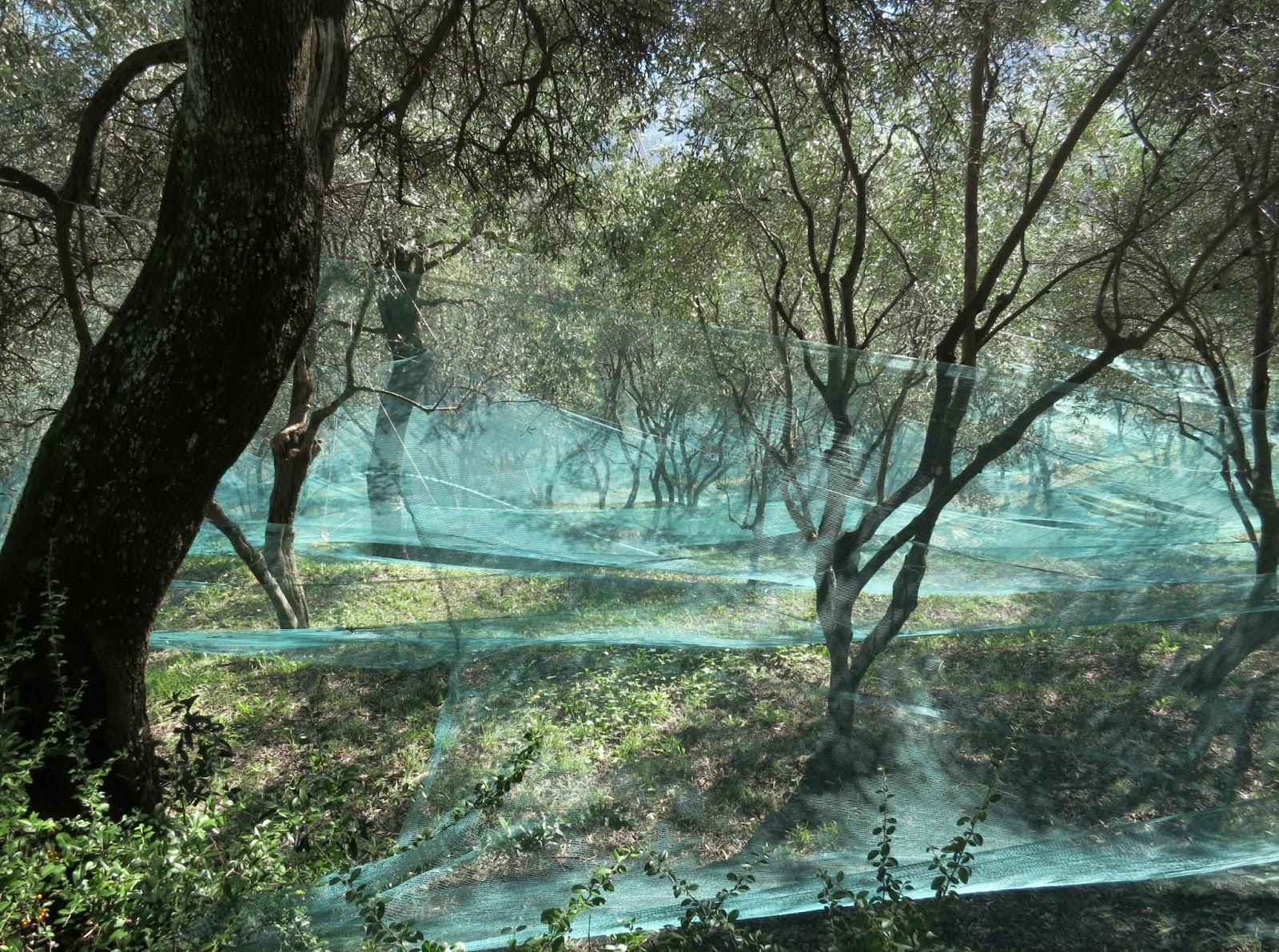 Olive Trees with Harvest Nets on the Portofino Slopes
