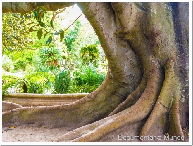 Figueira da Austrália; Ficus macrophylla; Jardim Botânico da Ajuda; Ajuda; Lisboa