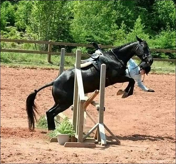 Funny Horse Jumping Quotes Quotesgram