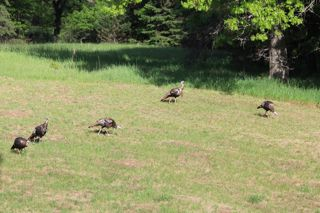 photo of flock of turkeys