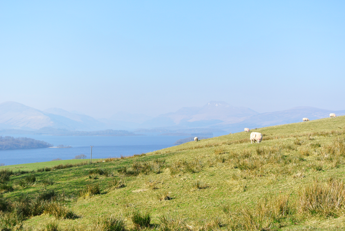 Sheep pasture by Loch Lomond