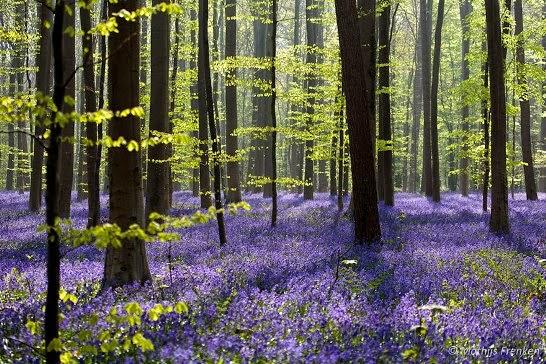 bosque de Hallerbos  Bélgica hallerbos belgium blue forest