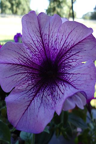 Petunia purpura - Solo Nuevas