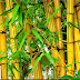 "Bambu Kuning,""Penangkal Bala"", Mitos ataukah Fakta? (3)"