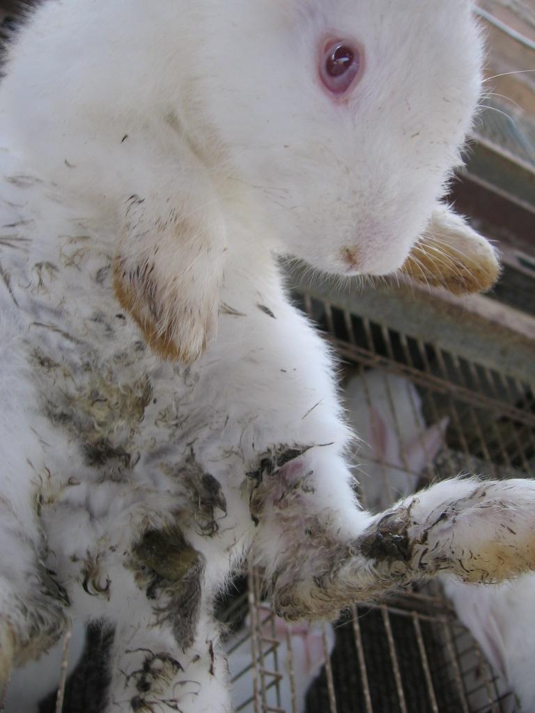 Por qué a los conejos les da diarrea? | Cunicultura desde el Perú