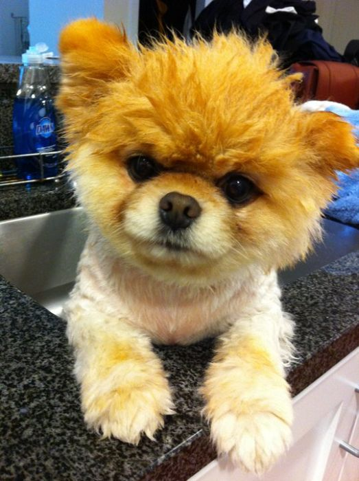 Meet Boo The Cutest Pomeranian Dog Damn Cool Pictures