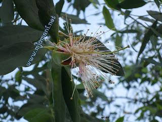 Rambai (Sonneratia caseolaris)