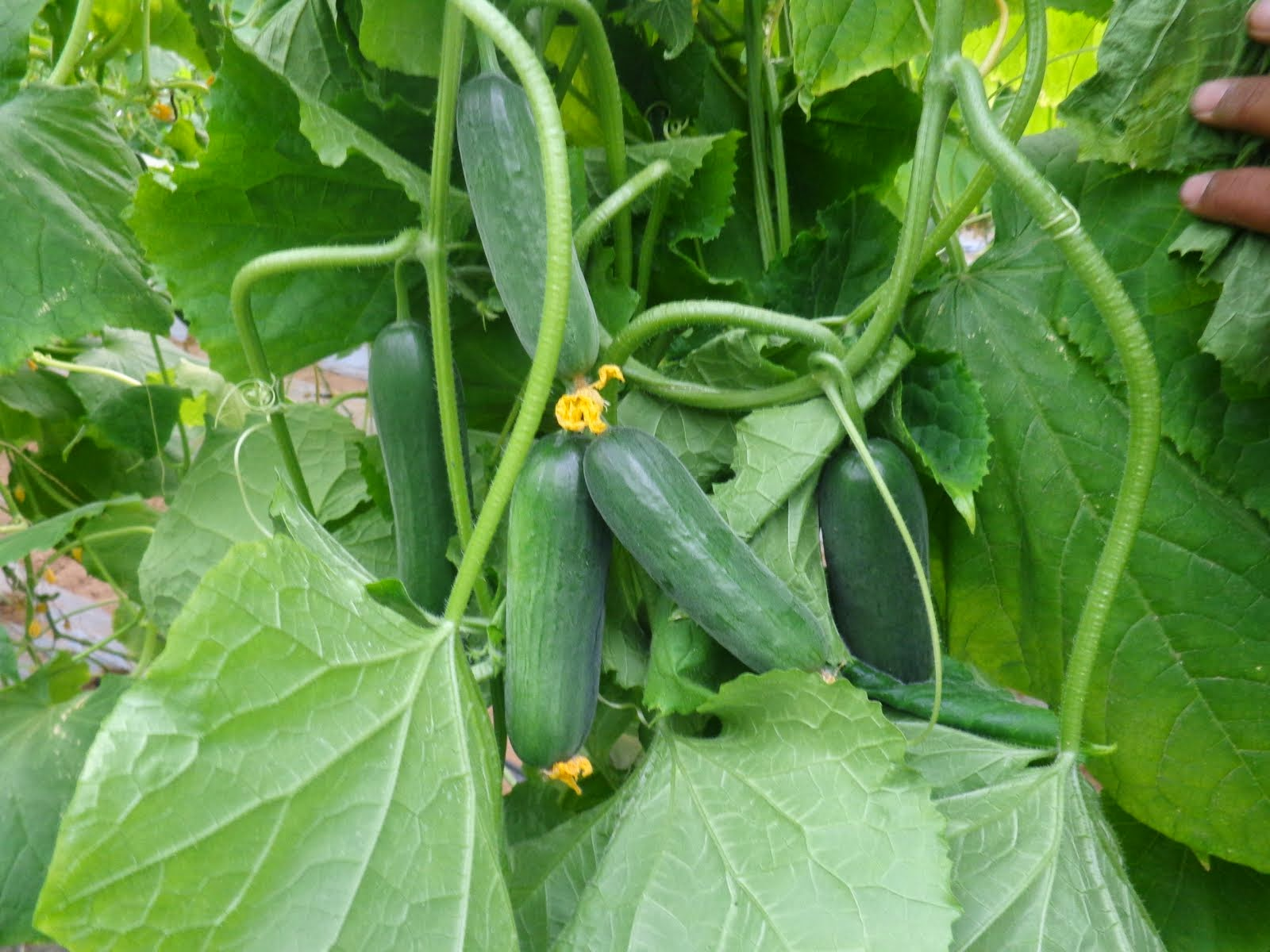 CUCUMBER CULTIVATIONIN GREEN HOUSE