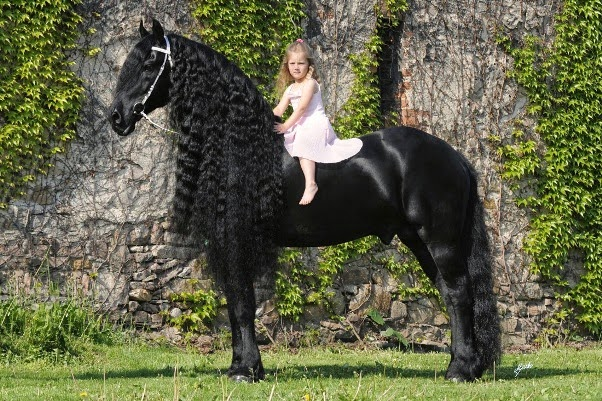 Ang 233 Lica Italia The Kfps Royal Friesian Horse