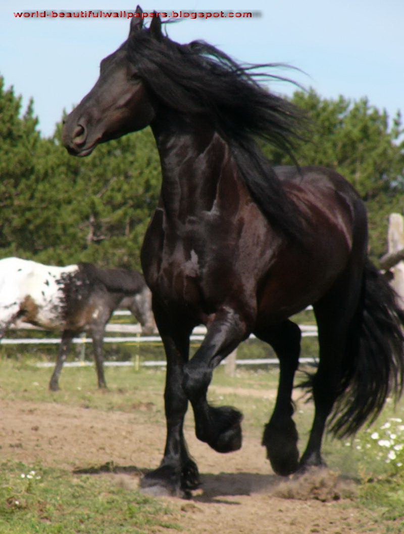 Friesian Horse Pictures
