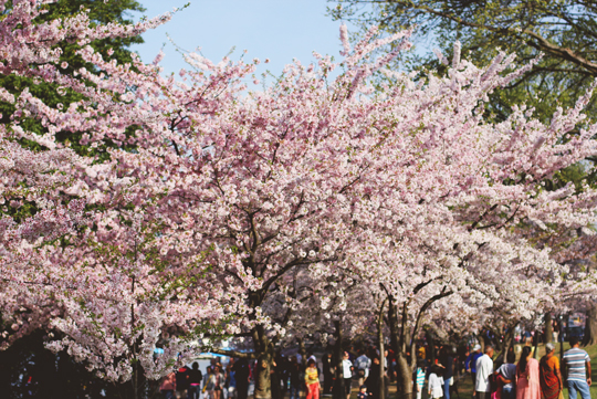 The Cherry Blossom Festival in Washington, DC