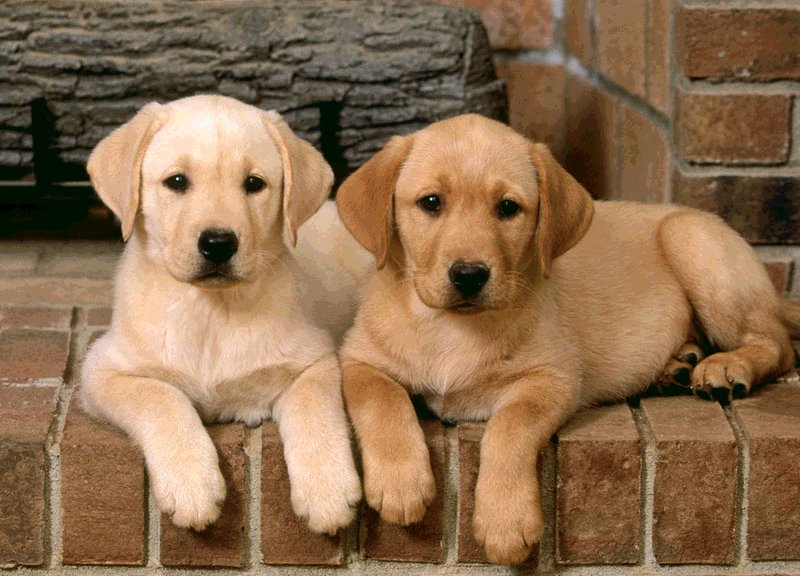 Golden Puppy Labrador Retriever Dog