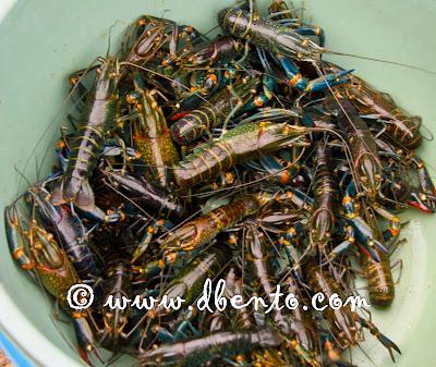 udang lobster dari danau maninjau