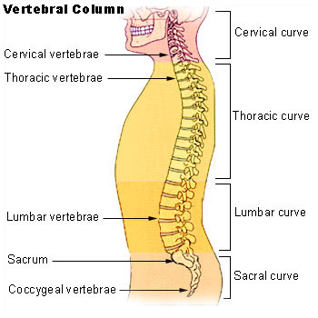 Spinal chord responsible for orgasm