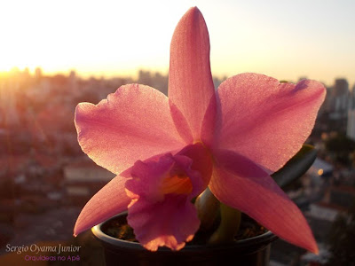 Mini-orquídea Laelia alaorii x Laelia sincorana