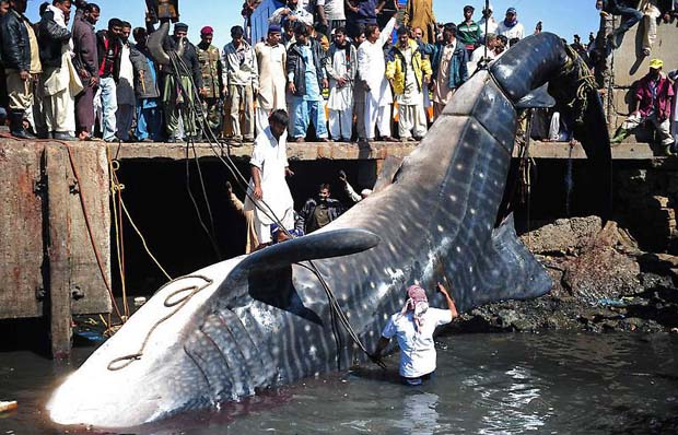 40 fit big fish in pakistan download photos for Sea world fish market