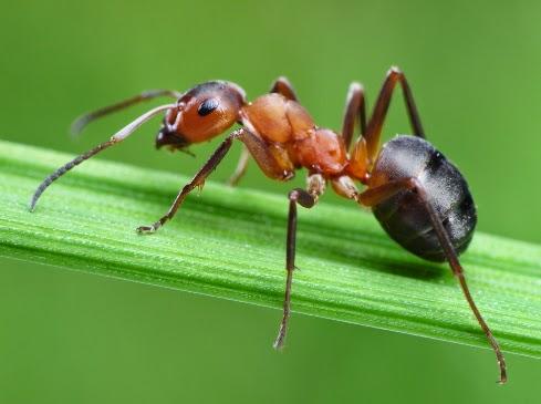 Karınca nasıl uzaklaştırılır