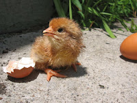 Baby chick just hatched from egg