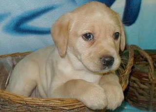 Anak Anjing Labrador Retriever