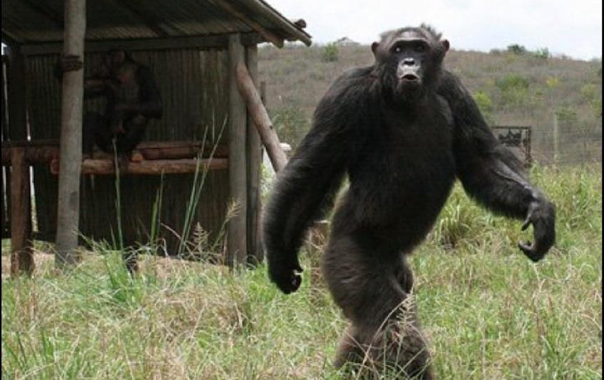 Texas Cryptid Hunter  Bipedal Chimp Photo d0bd450871a