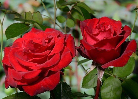 Helmut Kohl Rose rose сорт розы фото
