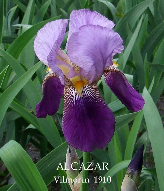 Historic Iris 'ALCAZAR' ~ HERITAGE IRISES