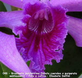 Brasilaelia pulcherrima do blogdabeteorquideas