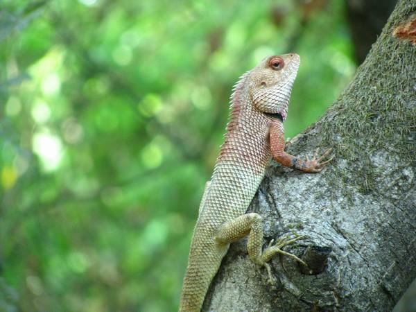 Lizard q viewer baixar
